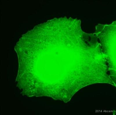 Immunocytochemistry/ Immunofluorescence - Anti-GFP antibody [9F9.F9] (ab1218)