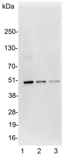 Western blot - Anti-DDDDK tag  antibody - (Equivalent to FLAG antibodies from Sigma) (ab1257)