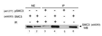 Immunoprecipitation - Anti-SMC3 (phospho S383) antibody (ab1277)