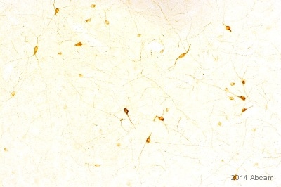 Immunohistochemistry (Frozen sections) - Anti-nNOS (neuronal) antibody (ab1376)