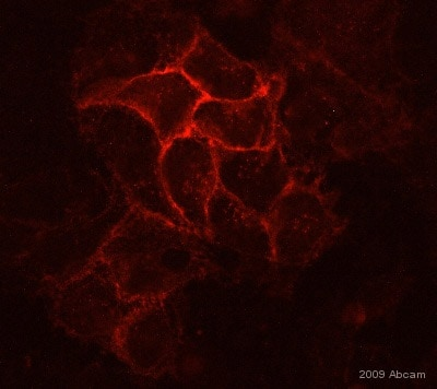 Immunocytochemistry/ Immunofluorescence - Anti-E Cadherin antibody [HECD-1] - Intercellular Junction Marker (ab1416)