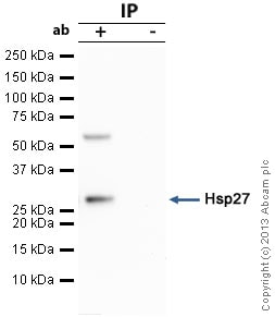 Immunoprecipitation - Anti-Hsp27 antibody (ab1426)