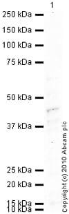 Western blot - Anti-CCR7 antibody (ab1657)
