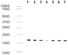 Western blot - Human Histone H3 (di methyl K9) peptide (ab1772)