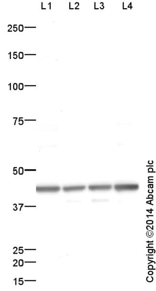 Western blot - Anti-Actin antibody - Loading Control (ab1801)