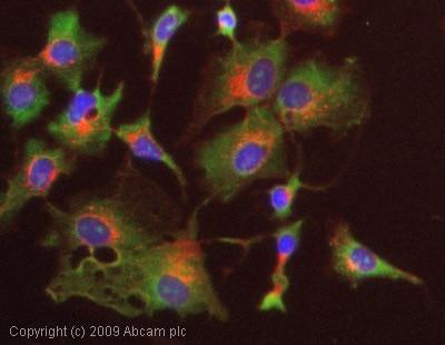 Immunocytochemistry/ Immunofluorescence - Anti-Thrombospondin antibody [A6.1] (ab1823)