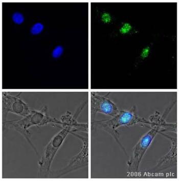 Immunocytochemistry/ Immunofluorescence - Anti-Myogenin antibody [F5D] (ab1835)