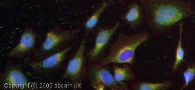 Immunocytochemistry - Anti-ADAM10 antibody (ab1997)
