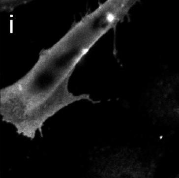 Immunocytochemistry/ Immunofluorescence - Anti-Streptavidin antibody [S10D4] (ab10020)