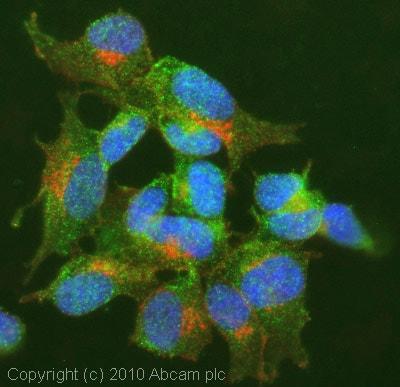 Immunocytochemistry/ Immunofluorescence - Anti-GABA A Receptor alpha 5/GABRA5 antibody (ab10098)
