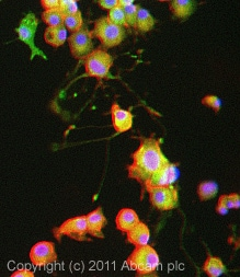 Immunocytochemistry/ Immunofluorescence - Anti-KA1 antibody (ab10101)