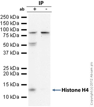 Immunoprecipitation - Anti-Histone H4 antibody - ChIP Grade (ab10158)