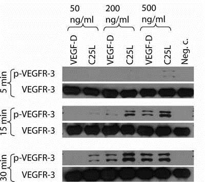 Immunoprecipitation - Anti-VEGF Receptor 3 antibody (ab10284)