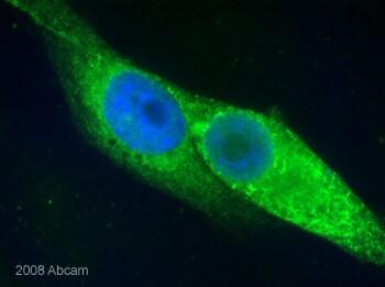 Immunocytochemistry/ Immunofluorescence - Anti-Calnexin antibody (ab10286)