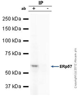 Immunoprecipitation - Anti-ERp57 antibody (ab10287)