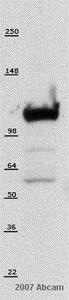 Western blot - Anti-hnRNP U/p120 antibody [3G6] (ab10297)