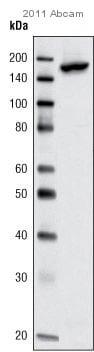 Immunoprecipitation - Anti-KAT13A / SRC1 antibody (ab10308)