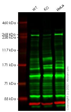 Western blot - Anti-ATR antibody (ab10312)