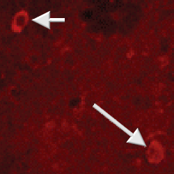 Immunohistochemistry (PFA perfusion fixed frozen sections) - Anti-Neuropeptide Y antibody (ab10341)