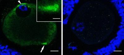 Immunocytochemistry/ Immunofluorescence - Anti-PSTAIR antibody [PSTAIR] (ab10345)
