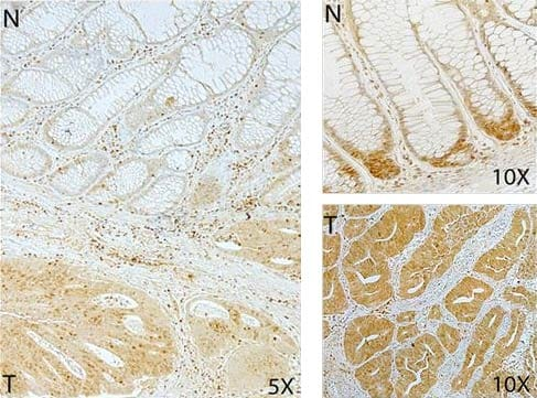 Immunohistochemistry (Formalin/PFA-fixed paraffin-embedded sections) - Anti-SMC2 antibody (ab10412)
