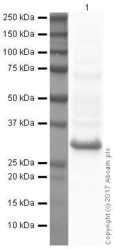 Western印迹-抗BNIP3抗体[ANA40](AB10433)