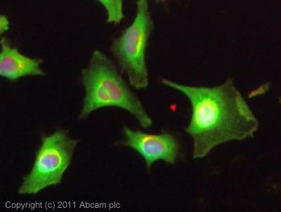 Immunocytochemistry/ Immunofluorescence - Anti-CSNK2A1 antibody (ab10466)