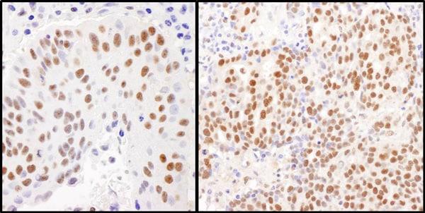 Immunohistochemistry (Formalin/PFA-fixed paraffin-embedded sections) - Anti-KAP1 antibody (ab10484)