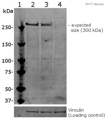 Western blot - Anti-KAT3B / p300 antibody - ChIP Grade (ab10485)