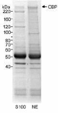 Immunoprecipitation - Anti-CREBBP antibody - ChIP Grade (ab10489)