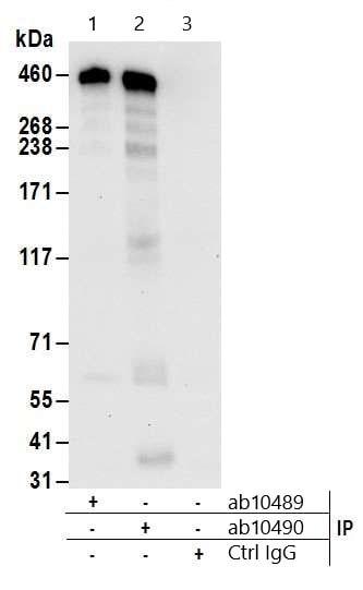 Immunoprecipitation - Anti-CREBBP antibody - ChIP Grade (ab10490)