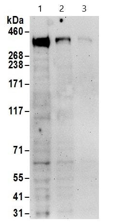 Western blot - Anti-CREBBP antibody - ChIP Grade (ab10490)