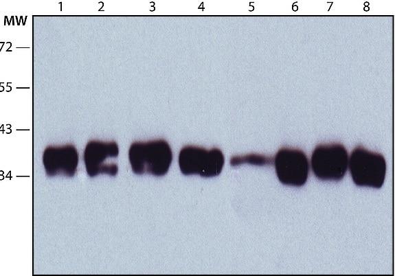 Western blot - Anti-Nucleophosmin antibody [FC82291] (ab10530)