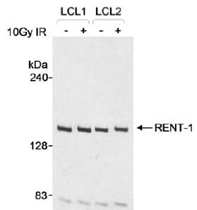 Western blot - Anti-RENT1/hUPF1 antibody (ab10534)
