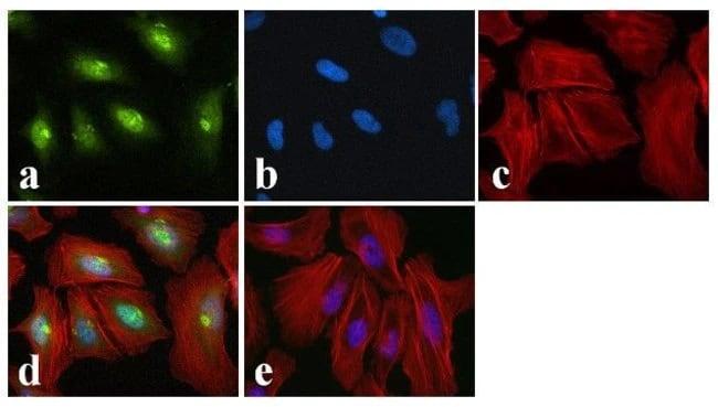 Immunocytochemistry/ Immunofluorescence - Anti-CREB (phospho S129 + S133) antibody (ab10564)