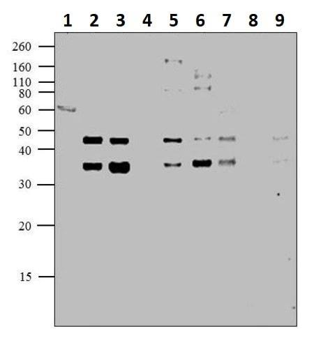 Western blot - Anti-CREB (phospho S129 + S133) antibody (ab10564)
