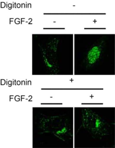 Immunocytochemistry/ Immunofluorescence - Anti-FGFR1 antibody - ChIP Grade (ab10646)