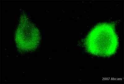 Immunocytochemistry/ Immunofluorescence - Anti-Met (c-Met) antibody (ab10728)