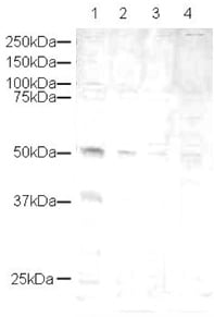 Western blot - Anti-CYR61/CCN1 antibody (ab10760)