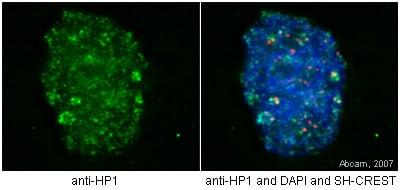 Immunocytochemistry/ Immunofluorescence - Anti-CBX1 / HP1 beta antibody [MAC353] - ChIP Grade (ab10811)