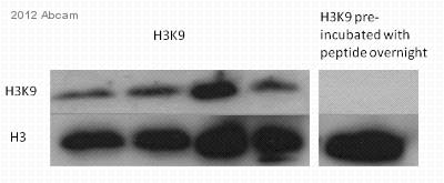 Western blot - Anti-Histone H3 (acetyl K9) antibody - ChIP Grade (ab10812)