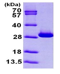 SDS-PAGE - Recombinant Human Triosephosphate isomerase protein (ab100826)