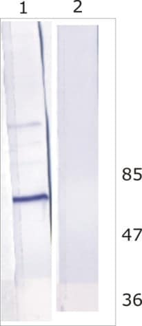 Western blot - Anti-HCV subtype 1b NS5B antibody [10D6] (ab100895)