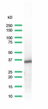 Western blot - Anti-BOB1 antibody [SP92], prediluted (ab100903)