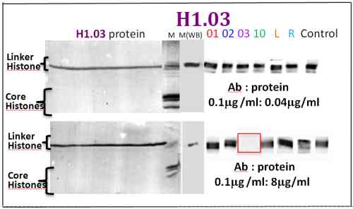Western blot - Anti-Histone H1.03 antibody (ab100946)