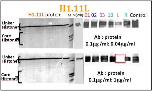 Western blot - Anti-Histone H1.11L antibody (ab100948)