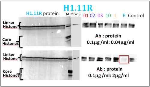 Western blot - Anti-Histone H1.11R antibody (ab100950)