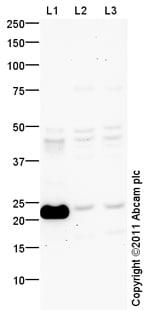 Western blot - Anti-Tmem18 antibody (ab100954)