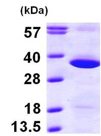 SDS-PAGE - Recombinant Human GNPDA1 protein (ab100960)
