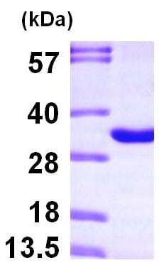 SDS-PAGE - Recombinant Human THYN1 protein (ab101060)